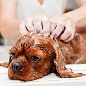 cómo se cura la sarna en perros