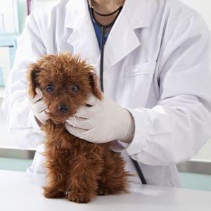 cómo se diagnostica la sarna en perros