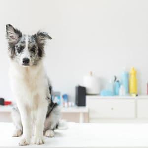Cómo Se Cura El Moquillo Canino