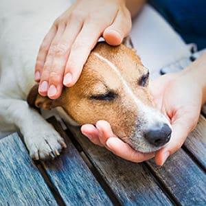 Cuidados de un perro con moquillo