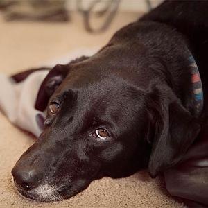 Diagnóstico de la Leishmaniasis en Perros