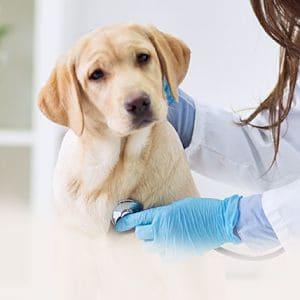 Enfermedades que Producen las Garrapatas en Perros