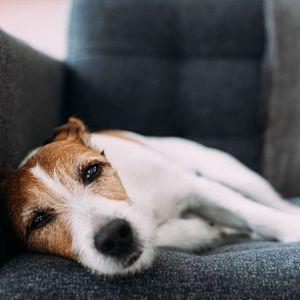 La leishmaniasis En Perros Tiene Cura