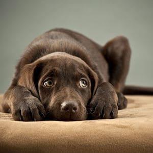 Moquillo canino en pdf