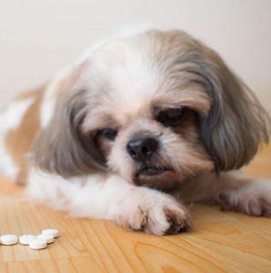 Remedios caseros para el moquillo canino