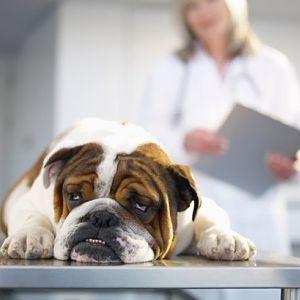 Síntomas del moquillo canino