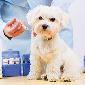 Vacuna para el moquillo canino