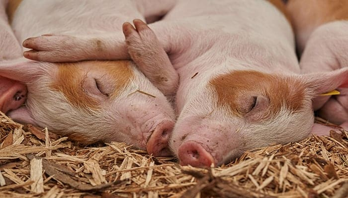 Cerdo en navidad
