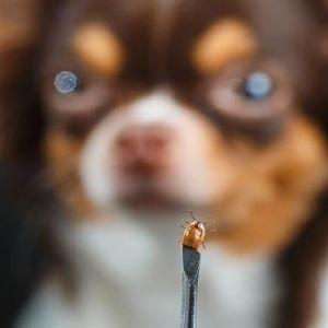 cuidados de un perro con garrapatas
