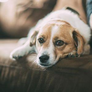 efectos de la leishmaniasis en perros