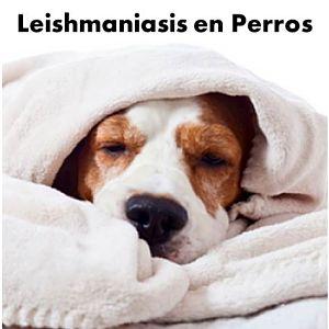 leishmaniasis en perros en pdf