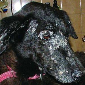 síntomas de la leishmaniasis en perros