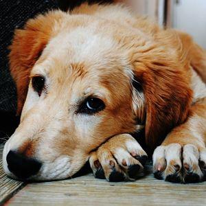 tipos de leishmaniasis en perros