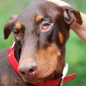 Cómo se contagia la conjuntivitis en los perros