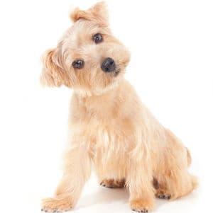 Síntomas De La Otitis En Perros