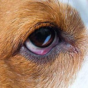 Tipos De Conjuntivitis En Perros