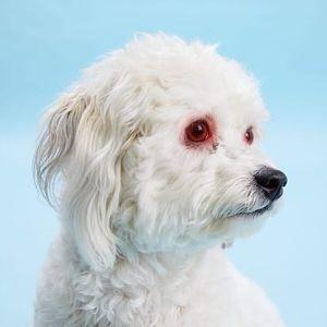 contagio de la conjuntivitis de perros a humanos
