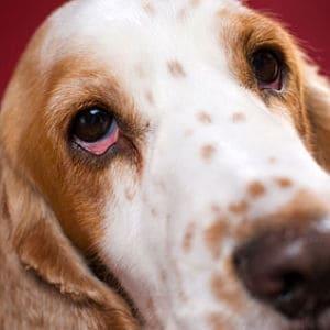 efectos de la conjuntivitis en perros