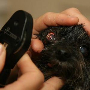 tratamiento para la conjuntivitis en perros