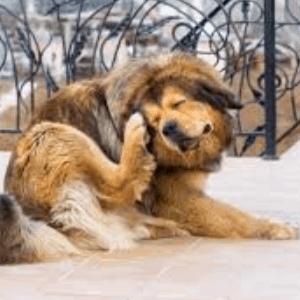 Alergias causadas por los ácaros en perros