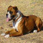 Razas de perros que más sufren displasia de cadera