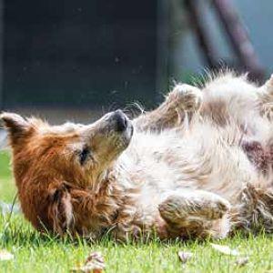 Efectos de la rabia en los perros