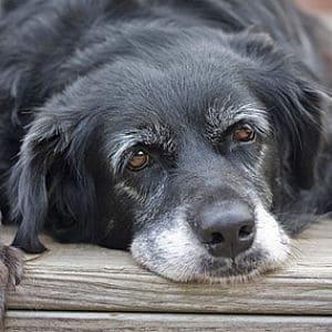 Insuficiencia renal en los perros mayores
