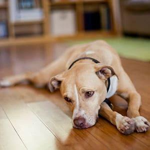 Síntomas de insuficiencia renal en los perros