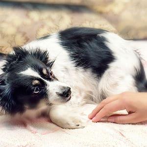 Síntomas de la rabia en perros
