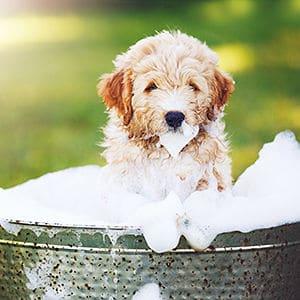 champú para las pulgas en perros