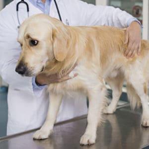 diagnóstico de la insuficiencia renal en los perros