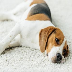 Diferencia entre convulsiones y epilepsia en perros