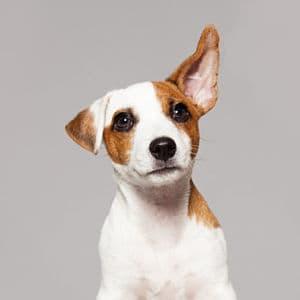 guía de otitis en perros PDF