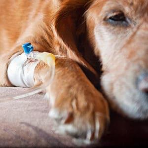 insuficiencia renal crónica en los perros