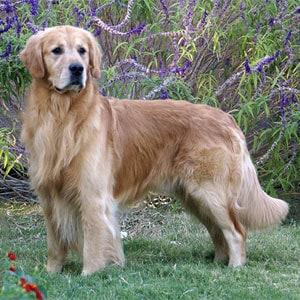 Displasia de cadera en perros viejos