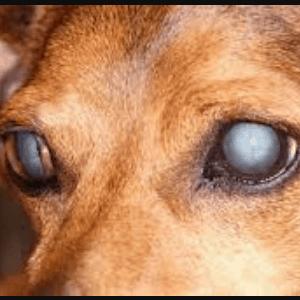 Qué son las cataratas en los perros