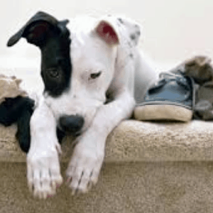Causas de la ansiedad por separación en los perros
