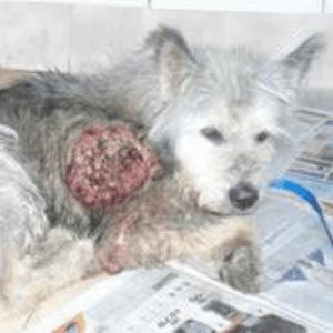 causas del cáncer de piel en los perros