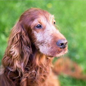El Síndrome de Cushing en los perros tiene cura