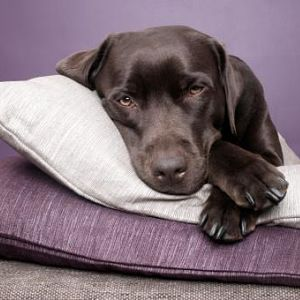 Guía Médica en PDF sobre la Insuficiencia Renal en los Perros