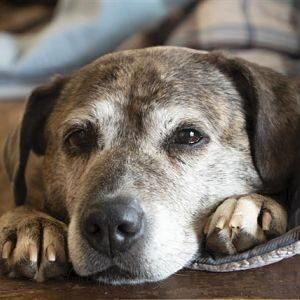 Guía Médica sobre el Síndrome de Cushing en los Perros