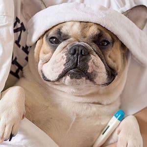 Remedios Naturales para tratar la Gripe en los Perros