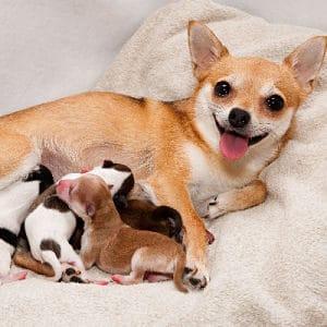 Remedios Naturales para tratar la Mastitis en los Perros