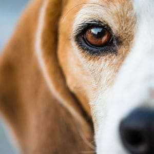 Síndrome de Cushing en los Perros