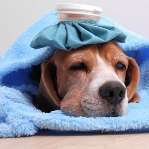 Tratamientos para la gripe en los perros