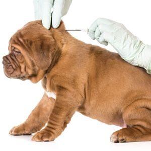 Vacuna para la Gripe en los Perros