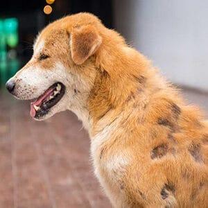 Caída de pelo en los perros