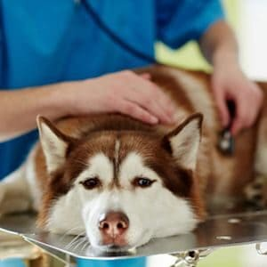 diagnosticar la gripe en los perros