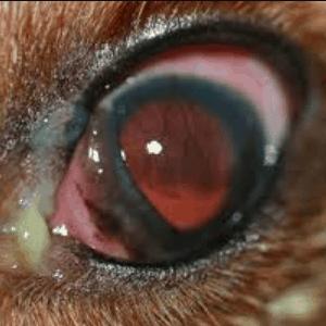 Enfermedades en los ojos de los perros por infecciones