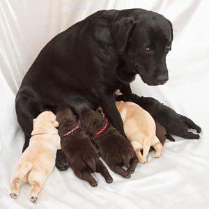 mastitis séptica aguda en los perros